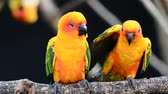 group of animal : sun conure parrot bird Stock Footage