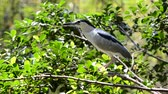 heron : night heron (Nycticorax nycticorax)
