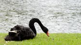 hattyú : black swan in park Stock mozgókép