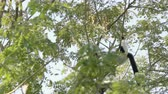 primát : black and white ruffed lemur on trees