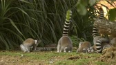 group of ring tailed lemur