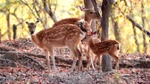 fawn : sika deer in the forest Stock Footage