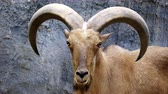 koza : Barbary sheep ( Ammotragus lervia ) standing on rocky mountains