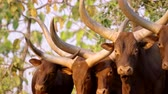 group of animal : Ankole Watusi, Watisu cow, Watusi cattle