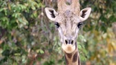 zsiráf : Close up of a giraffe head in nature