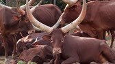 group of ankole watusi