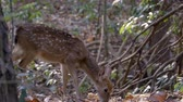 sika deer in forest Wideo