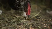 cackle : A black hen eats wheat from the ground, on a farm.