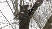 feeder : Red-breasted woodpecker climbing the tree and looking for food. Extraction. Hunting. Winter. Stock Footage