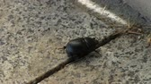 divoký : The rhinoceros beetle is slowly walking down the street. The street is made of granite.