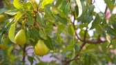 freshness : pear fruits hanging on a tree moving in the wind