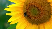 freshness : Bee Crawls Along the Beautiful Sunflowers.