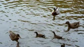 male animal : duck, Drake and ducklings swimming in the water.