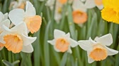 jonquil : white daffodils swaying in the wind.