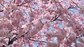 Spring tree and flowers with pink blossom on blue sky Vídeos