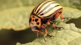 colorado potato beetle : Colorado potato beetle eats potato leaves, closeup