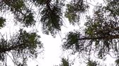 verdejante : Low-angled tracking panorama of a canopy of tall verdant trees in a clean environmental forest