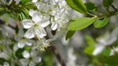 биологический : trees blooming in the garden bee flying clear sky nature spring summer beautiful flowers animal bee pollinating trees flowers fruit garden