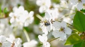 биологический : bee pollinating flowering trees spring flowers slow motion nature summer beautiful flowers collect pollen honey bee swarm beautiful tree fruit garden green leaves white flowers apple cherry plum