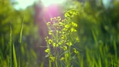 light : juicy green grass macro sun shines through the leaves of the grass beautiful background macro spring summer landscape beautiful sunlight dew on the grass Stock Footage