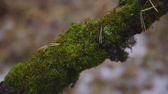 decomposing : green moss on a tree branch in an autumn forest. cinematic shot. nature, landscape Stock Footage