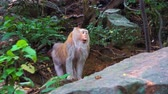 macaque : monkey stands on a rock in the rainforest. jungle, the habitat of wild monkeys