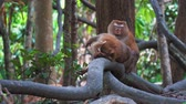 macaco : baby monkey hanging on liana in lowland rainforest