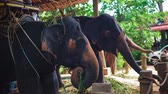cana : Asian elephants eating cane on the farm for entertainment tourists Stock Footage