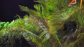 kokosnoot : Close-up branches of a palm tree in tropics and night sky at background