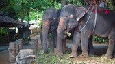 cana : Elephants for safari eating cane leaves at farm in the jungle