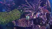 hloubka : Exotic Angelfish, Pomacanthidae in an aquarium, floating between colorful corals