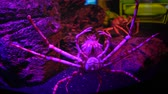 паукообразный : The Japanese spider crab in fish tank with stones at background, close-up Стоковые видеозаписи