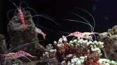 deep sea shrimps : Striped glass shrimp on tropical corals in underwater world