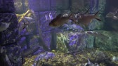 fins : underwater sea world. Aquarium with a large aquarium. sea fish swim in the decorated aquarium. Stock Footage