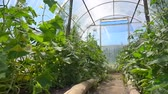 espaçoso : Seedling of cucumbers and tomatoes bloom in a spacious greenhouse on the farm, slow motion Vídeos