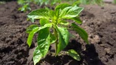 mudas : Beautiful organic pepper Bush growing in fertile soil on the farm, slow motion Vídeos