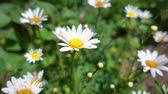 nobody : Beautiful daisies blooming in the summer garden in the sun, slow motion Stock Footage