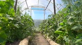 肥沃 : Tomato seedling with yellow flowers grow in a bright greenhouse in a Sunny place, slow motion