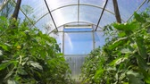 肥沃な : Lush tomato plants bloom under the rays of the sun light in the greenhouse