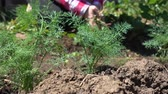 statek : Farmer cultivates the soil. Fresh organic greens growing in the sun Dostupné videozáznamy