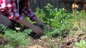 bazylia : Farmer hands cleans weeds from the rows on a Sunny day, close-up Wideo