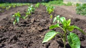 bereketli : Rows of pepper seedling grow on fertile soil on an eco-friendly farm Stok Video