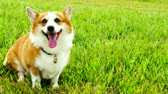 rest : Pembroke Welsh Corgi sitting down.