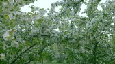 floreios : Green white branches of blossom apple tree above path way springtime. Camera shifting movement foreground. Dolly in white flowers green grass background. Nice scene fresh green leave in garden