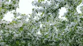 floreios : White sky and white flowers of blossom apple-tree branches. Camera go through green leaves. Apple tree above path way springtime. White flowers green background. Nice scene fresh green leaves garden