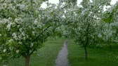 floreios : Green white branches blossom apple tree above path way springtime. Camera tilting up. White flowers around green grass background. Nice scene green leaves in garden. Nobody in garden springtime