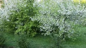lilás : Bushes grass and white blossom apple tree garden. Panning left. Summer day or morning springtime. Fresh green natur background. Nice scene green leaves in garden. Nobody in garden springtime lown