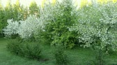 lilás : Bushes grass and white blossom apple tree garden. Panning right. Summer day or morning springtime. Fresh green natur background. Nice scene green leaves in garden. Nobody in garden springtime lown
