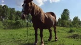 mare : Big brown horse staing at meadow sunny day close-up view. Much insects flying around. Green grass lawn rural scene. Horse waving mane and tail. Stock Footage