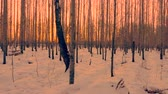 nyírfa : Beautiful golden sunset in birch grove on winter evening